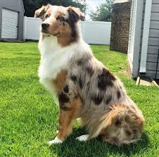 problems with australian shepherds puppy socialization classes paws and possibilities