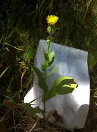 218 best native plants images on p observation hotline calflora