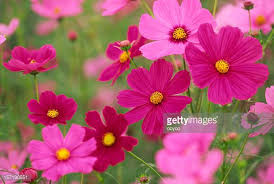flowers images cosmos flower stock photos and pictures getty images