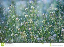 wild flowers in wild meadows little white wild meadow flowers stock photo image 52001439
