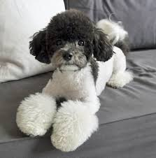 haircutsfordogs poodlemix baxter the poodle mix love the poodle do daily puppy and bark