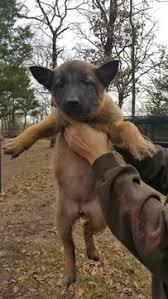 belgian sheepdog puppies texas view ad belgian malinois dutch shepherd dog mix puppy for sale