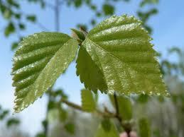 file birch tree leaves jpg wikimedia commons