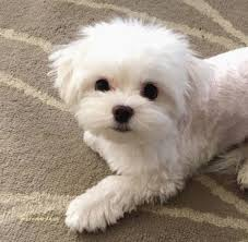 Unique Maltipoo Haircut Dog Grooming Styles Haircuts