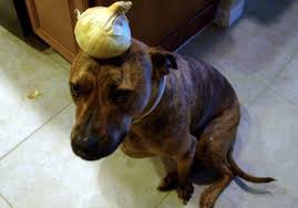are onions for dogs are onions bad for dogs 2018