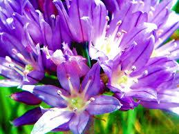 Purple Lillies Purple
