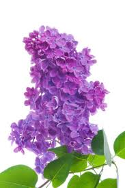 lilac flowers flower facts lilac grower direct fresh cut flowers presents