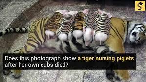 Tiger Mom Meme - tiger and piglets
