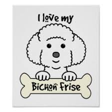 poodle y bichon frise bichon frise dog posters zazzle