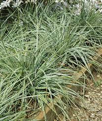 ornamental grasses grow purple grass perennial plants at