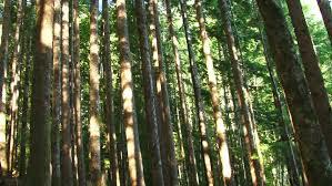 cedar tree stock footage