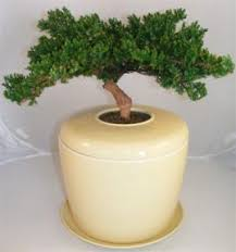 cremation tree juniper preserved bonsai tree not a living tree and porcelain