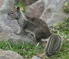 How To Hunt Squirrels In Your Backyard by California Ground Squirrels
