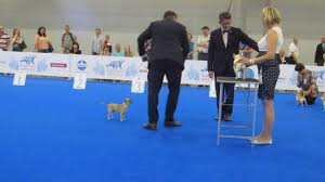 what is the dog show on thanksgiving world dog show 2016 chihuahuas smooth coat best of breed