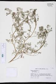 native plants of south carolina fumaria officinalis species page isb atlas of florida plants