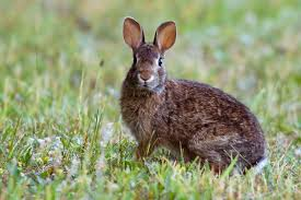 california rabbit hunting seasons laws and locations on private