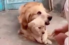 video protective golden retriever dad loves puppy unleashed
