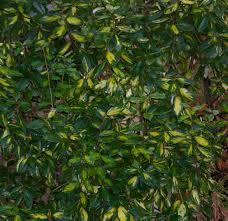 variegated and other evergreen shrubs my aberdeen garden