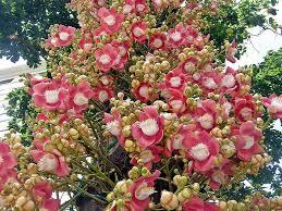 the weird and mysterious naga linga or shiva linga tree blog
