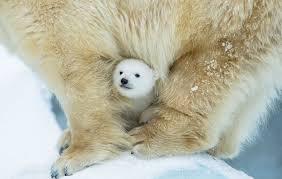 Two Polar Bears In A Bathtub 15 Un Bear Ably Cute Momma Bears Teaching Their Teddy Bears How