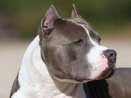 american pitbull terrier akc cimar kennels puppies for sale