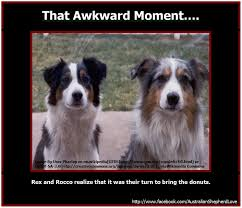 australian shepherd 60 minutes 24 best social image images on pinterest image aussies and