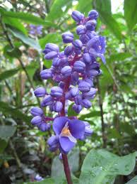 native plants of brazil dichorisandra thyrsiflora wikipedia