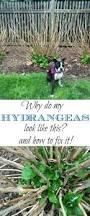 25 best when to prune hydrangeas ideas on pinterest when to