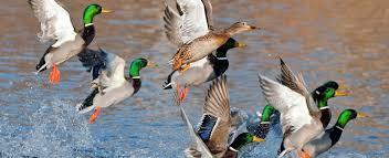 Louisiana wildlife images Louisiana hunting fishing licenses deer turkey tags boat jpg