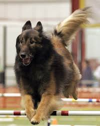 belgian sheepdog houston tx mach titles abtc