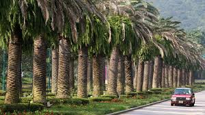 cut corners led to expensive magic road palm tree fiasco south