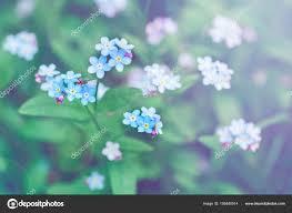 small blue forget me not flowers stock photo anoushkatoronto