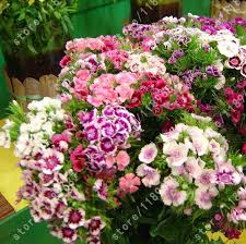 sweet william flowers buy flower sweet william and get free shipping on aliexpress
