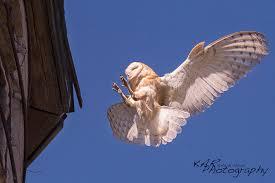Barn Owl Photography Wildlife Photographers Kate U0026 Adam Rice Catching The Animal U0027s