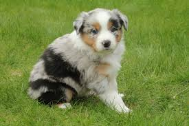 australian shepherd 11 weeks old blessings abound aussies