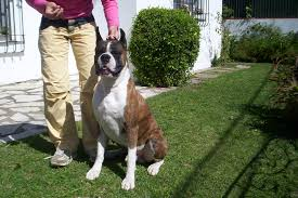 10 boxer dog facts german boxer dog top 16 things that you may not know about them