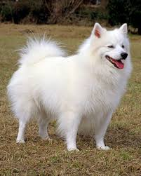 american eskimo dog what do they eat akc meet the breeds american eskimo dog martha stewart