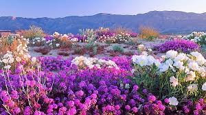 anza borrego super bloom of wildflowers days away in anza borrego desert kpbs