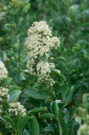 planting a native hedge 240 best phillipskop observations images on pinterest the o u0027jays