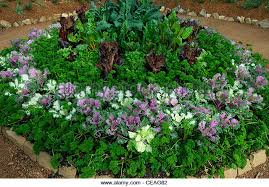 parsley lettuce ornamental stock photos parsley lettuce