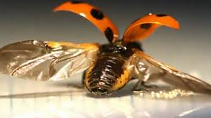 first ever look at the intricate way ladybugs fold their wings