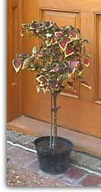 How To Grow Coleus Plants by How To Train A Coleus Into A Standard Or Topiary Form