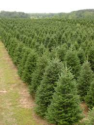 wholesale christmas silent evergreens wholesale christmas tree farm for 30