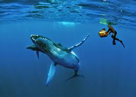 why do humpback whales save other species from being