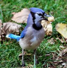 Connecticut birds images Blue jay identification all about birds cornell lab of ornithology jpg