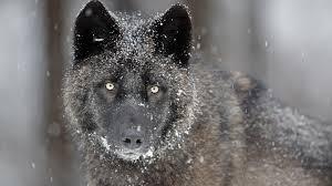 imagenes sorprendentes de lobos gli occhi gialli del lupo grigio animali selvaggi e domestici