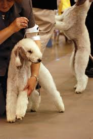 bedlington terrier genetic disease search results casey kerries from the inside out page 7