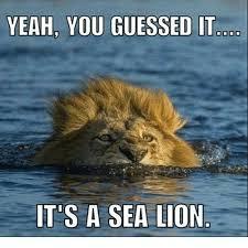 Lion Meme - yeah you guessed it its a sea lion meme on me me