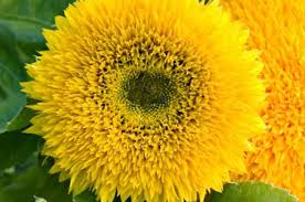 flower gardening top 10 classic yellow flowers