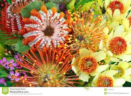 native australian flowering plants bright australian native flowers royalty free stock photo image